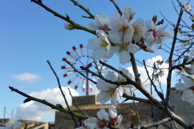 Blühender Mandelbaum auf Mallorca