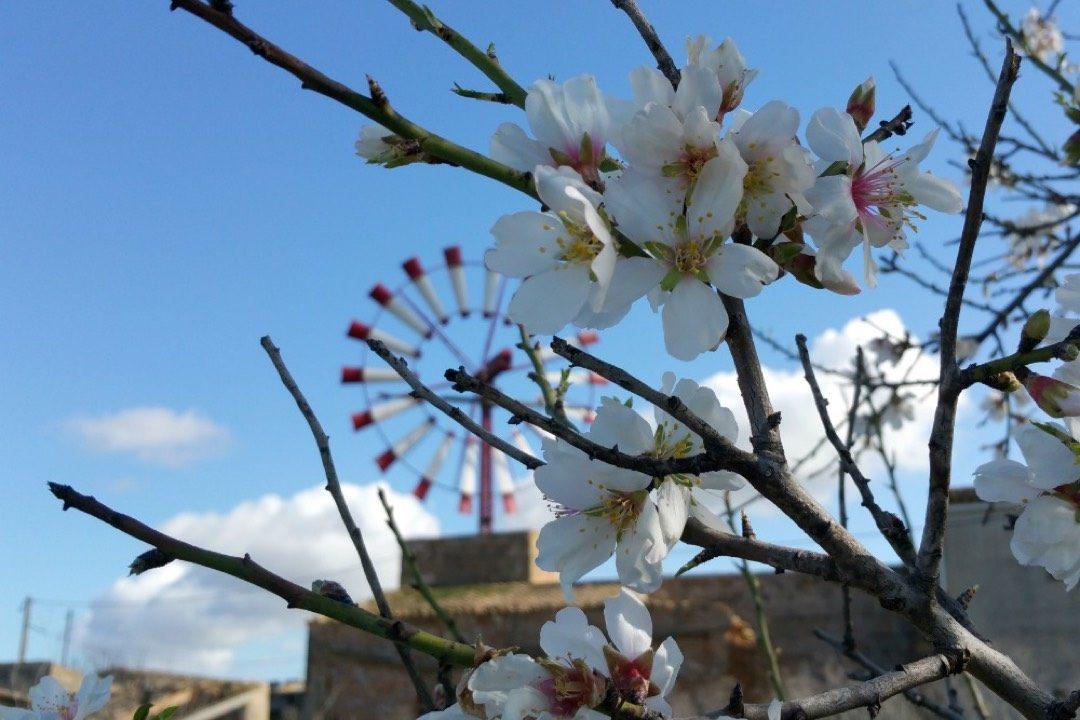 Erle die Mandelblüte auf Mallorca