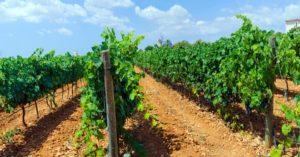 Weinreben auf Mallorca