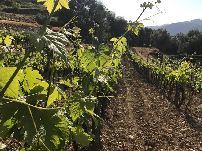 Weinreben auf dem Weingut Castell Miquel