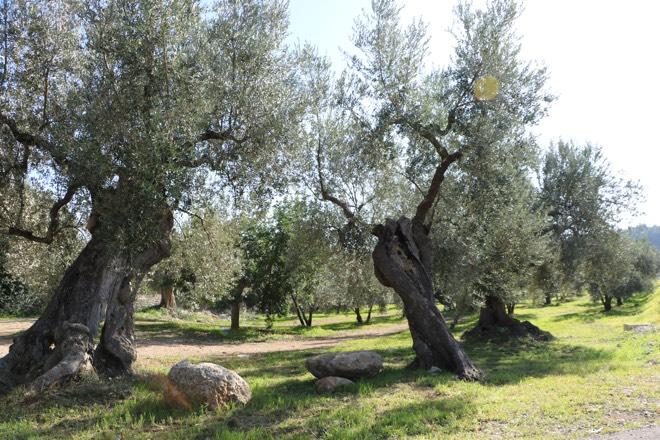 Olivenbäume auf Mallorca