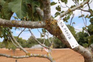 Feigenbaum auf Son Mut Nou