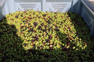 Oliven aus Caimari auf Mallorca