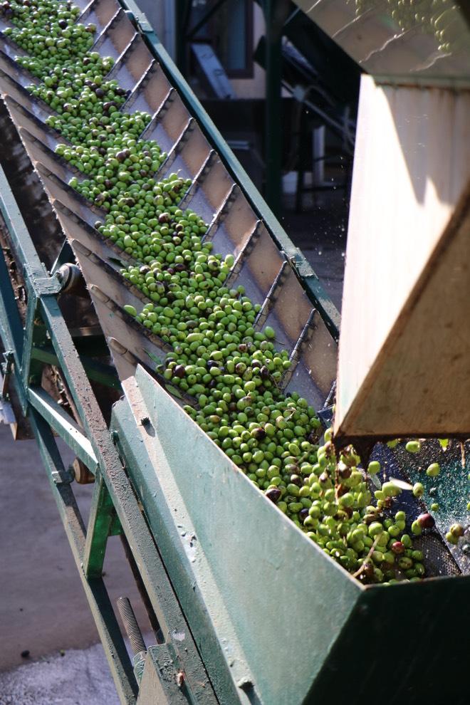 Oliven auf dem Fließband