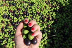Oliven bei Sa Tafona de Caimari auf Mallorca