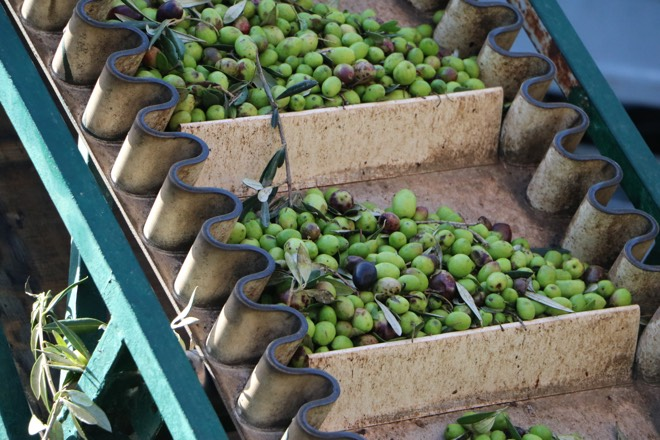 Oliven bei Sa Tafona in Caimari