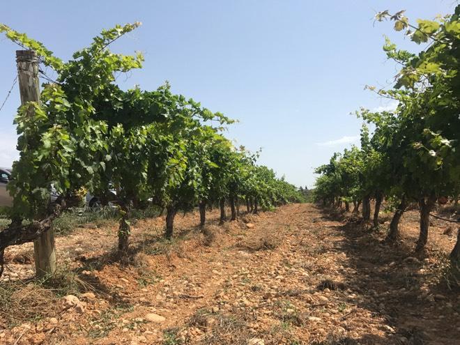 Mallorcas letzte Geheimnisse Wein