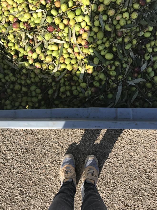 Olivenernte auf Mallorca