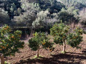 Orangenbäume auf der Wanderung nach Es Salt des Freu