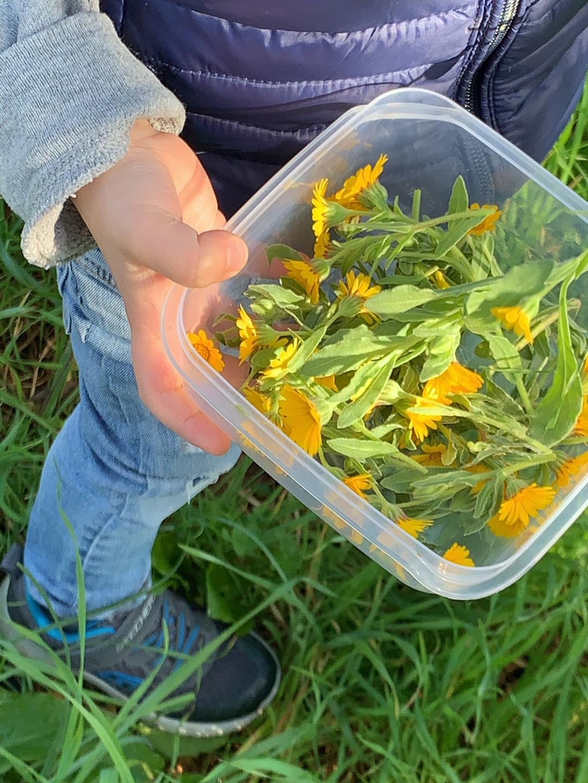 Ringelblumen auf Mallorca sammeln mit MY WILD GREENS