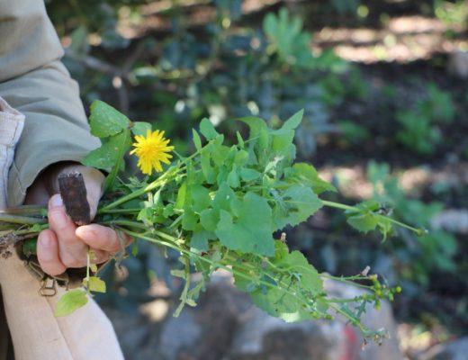 Wildpflanzenspazierganz mit MY WILD GREENS auf Mallorca