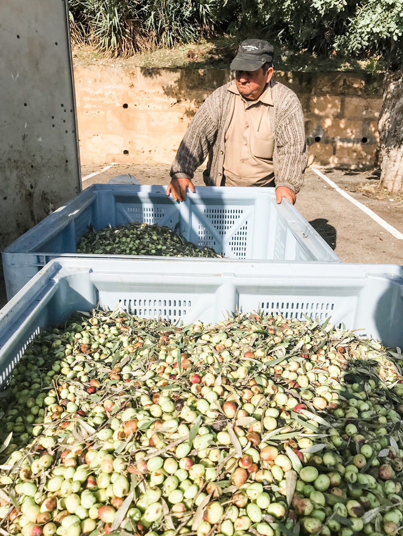 Olivenernte auf Mallorca erleben
