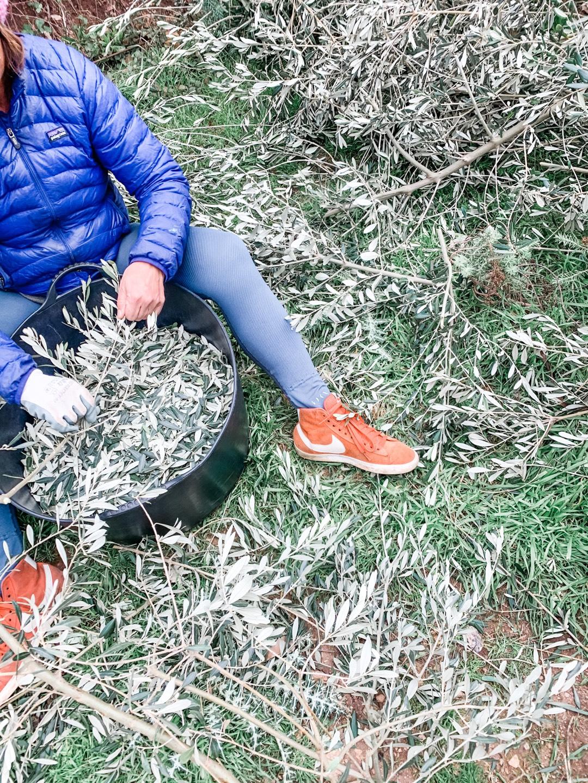 Strippen der Olivenblätter im Winter 2 A
