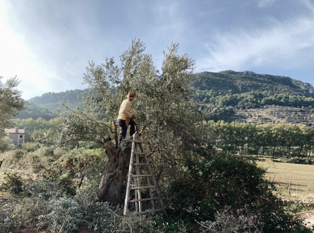 Olivenbäume auf Son Moragues bei Valdemossa