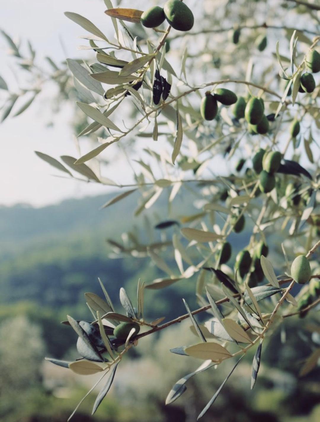 Olivenblätter als Superfood bei den Dos Alquemistas