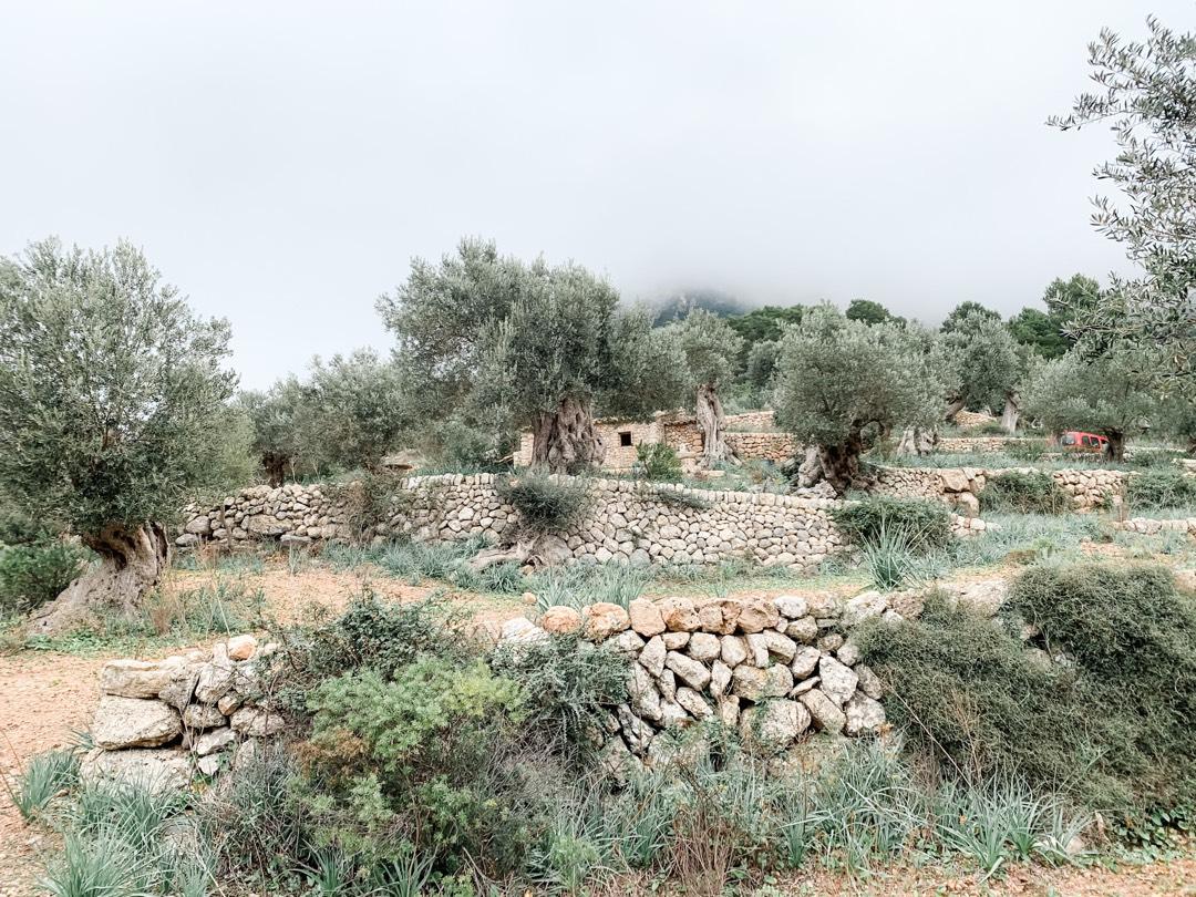 Olivenbäume auf Sn Moragues auf Mallorca