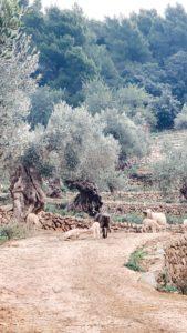 Olivenbäume auf Son Moragues auf Mallorca