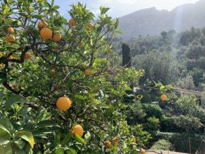 Orangenbäume im Garten von Sa Cova Fornalutx