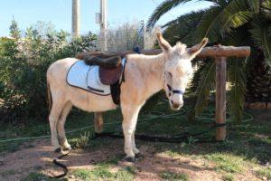 Esel Jesper für Eselwanderung auf Mallorca