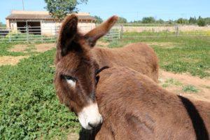 Die Esel von Can Paulino auf Mallorca