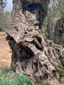 Uralter Olivenbaum auf Son Moragues bei Valdemossa