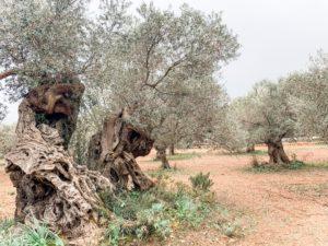 Olivenhaine auf Son Moragues auf Mallorca