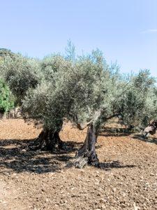 Olivenbäume von Con Alma Design Mallorca