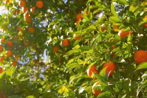 Mallorquinische Orangen