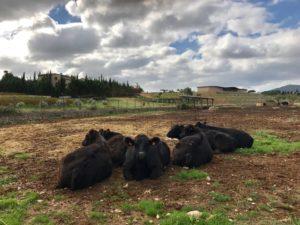 Die Rinder von Son Mayol