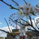 Mandelblüte auf Mallorca –  eine besondere Reisezeit
